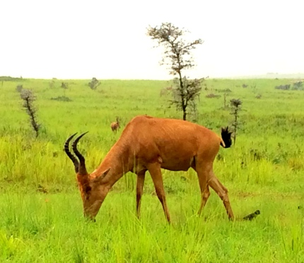 Impala - the more s-like their antlers, the older they are.
