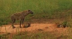 Hyena maternal love. (Spot the baby peeking out from the ground)