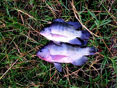 Tilapia, so freshly caught that they were still writhing amongst the swampy ground,