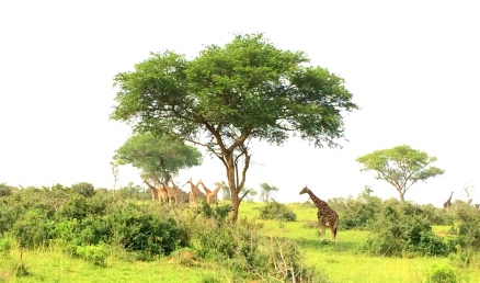 Giraffes defying the concept of not being social creatures.
